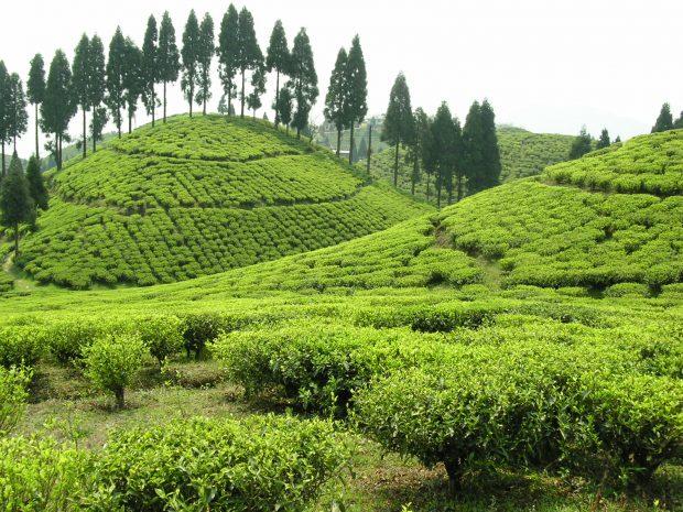 Gopaldhara Tea Garden